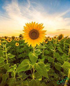Hoa hướng dương là hoa để bàn làm việc theo phong thủy được nhiều người yêu thích